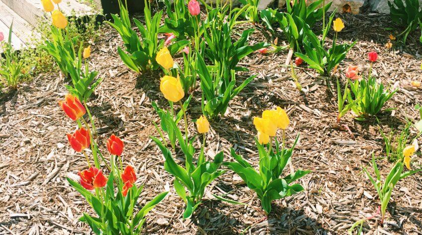 spring tulips april 2017